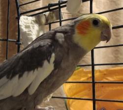North Las Vegas Bird Sitting Client